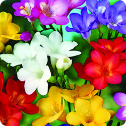 freesia-mix-fundraising-flower-bulbs